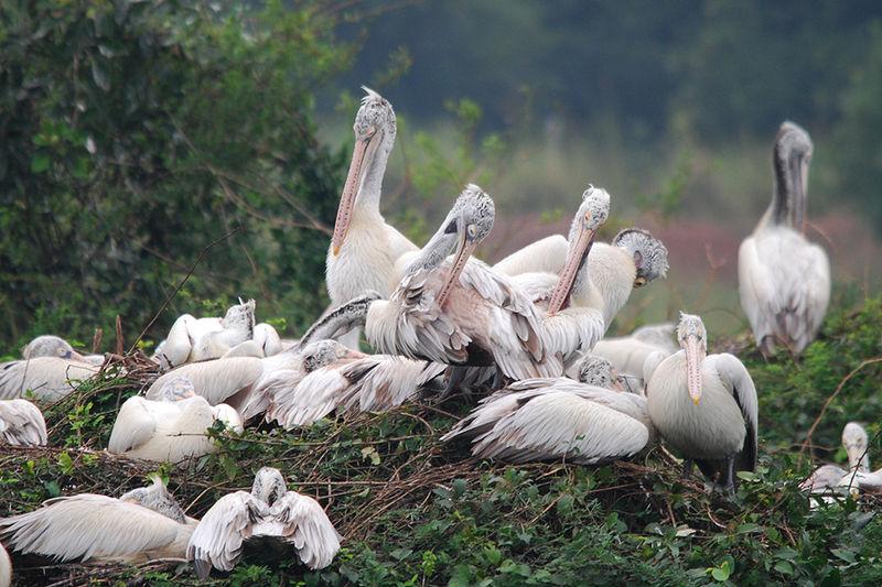 Nelapattu_Bird_Sanctuary